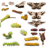 Complete evolution of Giant Peacock Moth Stock Photos