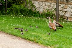 Complete family of ducks composed by both parents and several newborn babies. Together Stock Image