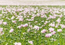 Complete Field full of Opium poppies Royalty Free Stock Images