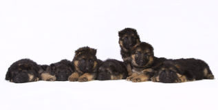 Complete German shepherd litter. Complete litter of seven cute German shepherd puppy's isolated on white Royalty Free Stock Photo