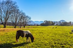 A complete green landscape of Underberg countryside with snow clad drakensberg in the background and a horse/pony grazing stock photo