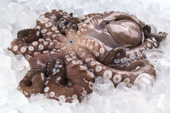 Complete Raw Octopus. Complete raw and fresh octopus with head still on photographed on ice (Selective Focus, Focus on the mouth and surroundings royalty free stock photography