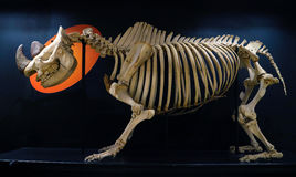 Complete rhinoceros skeleton in the Veterinary Anatomy Museum Royalty Free Stock Photos