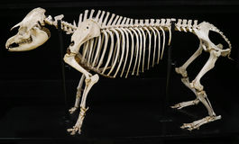 Complete tapir skeleton isolated with black background Stock Images