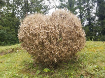 Completely defoliated and dried boxtree Stock Photo