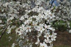 Completely opened flowers of Prunus cerasifera. In spring royalty free stock photo