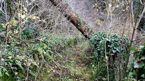 Overgrown forest trail. Completely overgrown forest trail with moss, high uncut grass, crawler plants, branches, small trees, fallen leaves and large tree trunks Stock Photos