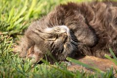 Completely relaxed cat taking a nap in the morning sun with green grass in the background royalty free stock photos