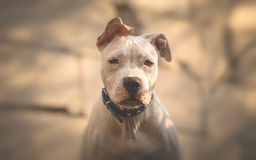 Completely white American Staffordshiere terrier. Completely white American Staffordshire terrier puppy portrait Stock Image