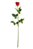 Completi la rosa rossa lunga di verticale del gambo Immagini Stock Libere da Diritti