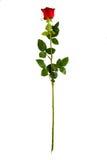Completi la rosa rossa lunga di verticale del gambo Immagini Stock
