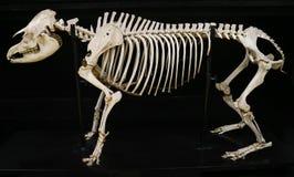 Completi lo scheletro del tapiro isolato con fondo nero Immagini Stock