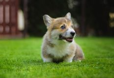 Completo feliz bonito do cachorrinho do pembroke do corgi de galês da energia que joga o assento em uma grama verde no jardim fotografia de stock