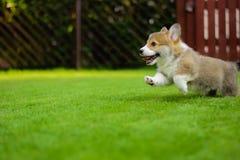 Completo feliz bonito do cachorrinho do pembroke do corgi de galês da energia que joga o corredor em uma grama verde no jardim imagens de stock