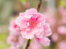 Complex flap peach blossoms in spring Royalty Free Stock Image