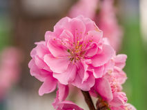 Complex flap peach blossoms in spring Royalty Free Stock Photos