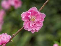 Complex flap peach blossoms in spring Royalty Free Stock Photo