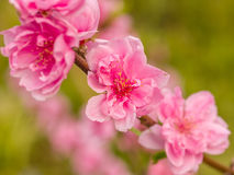 Complex flap peach blossoms in spring. In Wuhan Stock Photography
