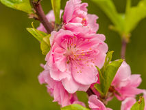 Complex flap peach blossoms in spring Stock Photography