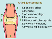 Complex joint vector. Anatomical atlas. Complex joint vector. Medical poster illustration. Mobile connection of bones. Somatic system connection of bones Stock Image