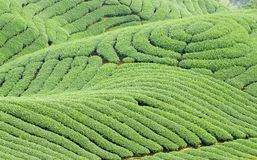 Complex landform and tea trees Stock Photos