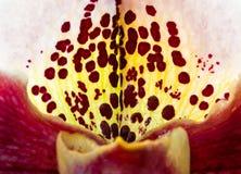 Complex Paphiopedilum (Bulldog Orchid) Stock Photos
