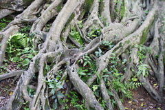 Complex root system of a tree Stock Image