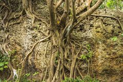 Roots and extensive branching of the Banyan tree at Eluanbi Park, Kenting National Park. Complex structure of the roots and extensive branching of the Banyan royalty free stock images