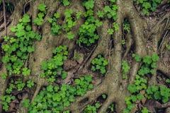Complexe structuur van wortels van een naaldboom Royalty-vrije Stock Fotografie