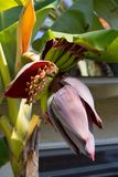 Complexité fabuleuse de la fleur ornementale de bananier photo stock
