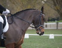 Compliant Bay. A bay horse competing in a dressage competition Stock Photography