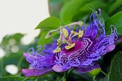 Purple flower of passion vine, Passiflora. The complicated and beautiful purple flower of Passiflora, the Passion vine. Passiflora, known also as the passion royalty free stock images