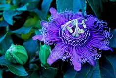 Purple flower of passion vine, Passiflora. The complicated and beautiful purple flower of Passiflora, the Passion vine. Passiflora, known also as the passion stock photo