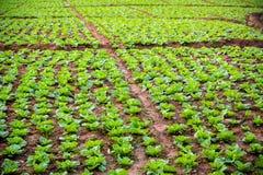 Complots de chou dans les terres cultivables Champs verts de légume Nettoyez la nourriture et penchez-vous la nourriture du légum photos stock