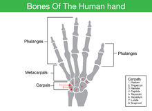 Components description of human hand bone. In illustration for work with medical content Stock Photo