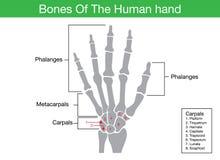 Components description of human hand bone Stock Photo