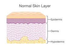 Components of human Skin layer in vector style. Layer of Healthy Human Skin in vector style and components information. Illustration about medical diagram Royalty Free Stock Images