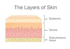 Components of human Skin layer in vector style. The Layer of Human Skin in vector style and components information. Illustration about medical and health Stock Photo