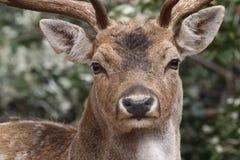 Comporté sur des cerfs communs dans le sauvage photos stock