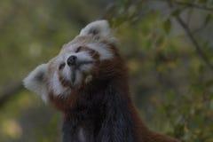 Comportamento da panda vermelha, risco, bocejando, retrato fotos de stock royalty free