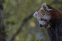 Comportamento da panda vermelha, risco, bocejando, retrato fotografia de stock royalty free