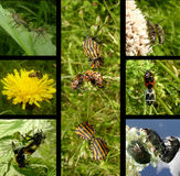 Comportamento de acoplamento dos insetos Fotografia de Stock Royalty Free