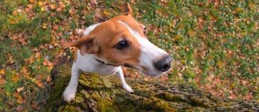 Comportamento del terrier del cane Terrier che salta su Riuscito addestramento del cane del terrier Vista da sopra fotografia stock libera da diritti