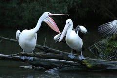 Comportamento disparatado do pelicano Imagens de Stock