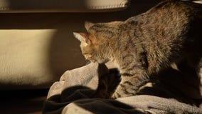 Comportamento felino - gatto che impasta e che succhia sulle coperte stock footage
