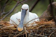Comportamento nella spatola euroasiatica del nido, leucorodia della molla dell'uccello del Platalea, sedentesi sul nido, ritratto immagini stock libere da diritti