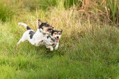 Comportamiento agresivo de la luz de la demostración Jack Russell Terriers realmente lindo y pacífico que apenas exagera en el ju imagen de archivo libre de regalías