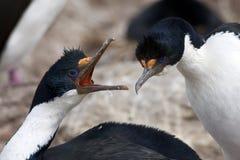 Comportamiento del cortejo de cormoranes de ojos azules Foto de archivo