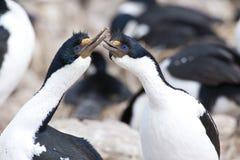 Comportamiento del cortejo de cormoranes de ojos azules fotos de archivo libres de regalías