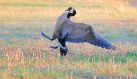 Comportamiento del ganso de Canadá del varón foto de archivo